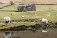 Ovejas que pastan en los valles de Yorkshire Foto de archivo