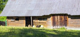 Ovejas que pastan en pasto cerca de granero de madera en la granja Fotografía de archivo libre de regalías