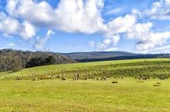 Ovejas que pastan en pasto verde enorme Foto de archivo libre de regalías