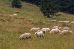 Ovejas que pastan en prado de la montaña Foto de archivo