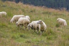 Ovejas que pastan en prado de la montaña Imagen de archivo