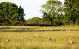 Ovejas que pastan en un campo de hierba Imagenes de archivo