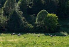 Ovejas que pastan en un campo en Charlevoix Quebec Fotos de archivo libres de regalías