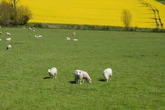 Ovejas que pastan en un campo verde en la primavera, Inglaterra foto de archivo libre de regalías