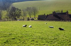 Ovejas que pastan, Northumberland Reino Unido Foto de archivo