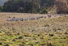Ovejas que pastan. NSW. Australia. Foto de archivo