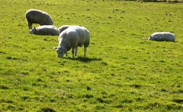 Ovejas que se relajan, Northumberland Reino Unido Imagen de archivo