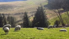Ovejas que se relajan, Northumberland Reino Unido Imagenes de archivo