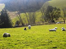 Ovejas que se relajan, Northumberland Reino Unido Foto de archivo
