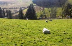 Ovejas que se relajan, Northumberland Reino Unido Fotos de archivo