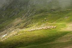 Ovejas que vienen abajo la montaña Fotografía de archivo