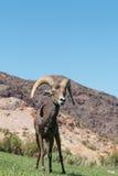 Ovejas Ram Head On del desierto Imágenes de archivo libres de regalías