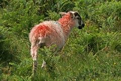 Ovejas rojas en el Dartmoor, Inglaterra Imagenes de archivo
