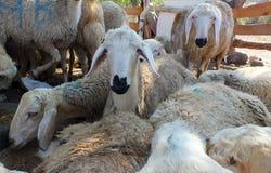Ovejas sacrificatorias para el festival de sacrificios en países musulmanes, asistente Mubarak foto de archivo