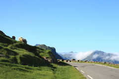 Ovejas sobre el camino de Haukland Imagen de archivo libre de regalías