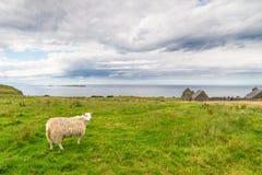 Ovejas solas en una playa en Irlanda, agosto de 2016 Imagen de archivo