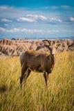 Ovejas solitarias del Big Horn en la hierba imágenes de archivo libres de regalías