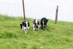 Ovejas, tres corderos, pastando en un dique holandés en el verano Imagenes de archivo
