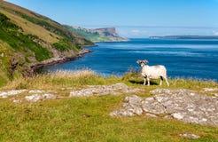 Ovejas y acantilados Esencia de Irlanda del Norte Foto de archivo
