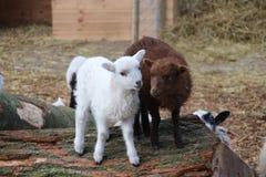 Ovejas y apenas corderos nacidos en Moordrecht, la primavera duing holandesa 2018 fotografía de archivo
