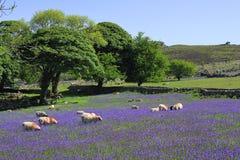 Ovejas y bluebells en Dartmoor Imagen de archivo