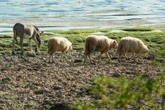 Ovejas y burro que caminan junto en la playa Fotografía de archivo