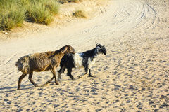 Ovejas y cabra en un desierto Foto de archivo