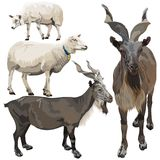 Ovejas y cabras Foto de archivo libre de regalías