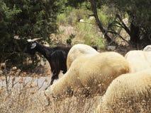 Ovejas y cabras Fotografía de archivo