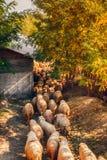 Ovejas y cabras que se mueven al pasto fotos de archivo libres de regalías