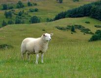 Ovejas y campo escocés Imagenes de archivo