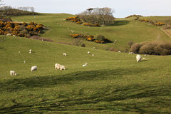 Ovejas y campos en la costa del norte en Anglesey, País de Gales Foto de archivo libre de regalías