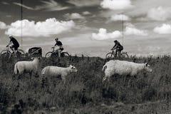 Ovejas y ciclista, 3x3 Fotos de archivo libres de regalías