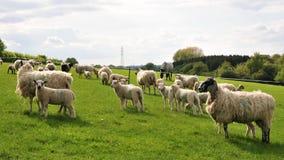 Ovejas y corderos Foto de archivo