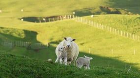 Ovejas y corderos Fotografía de archivo libre de regalías