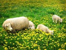 Ovejas y corderos foto de archivo libre de regalías