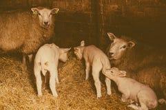 Ovejas y corderos Fotos de archivo