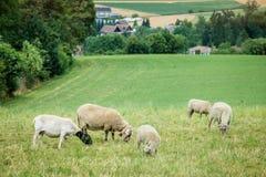 Ovejas y corderos Fotografía de archivo