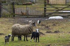 Ovejas y corderos imagen de archivo