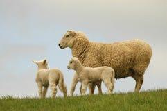 Ovejas y corderos Imágenes de archivo libres de regalías
