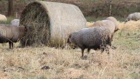 Ovejas y corderos afuera en el invierno que pasta el heno metrajes