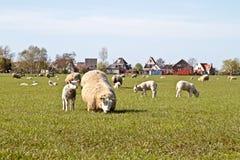 Ovejas y corderos en el campo Imágenes de archivo libres de regalías