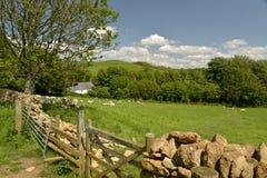 Ovejas y corderos en el campo, Abbotsbury Foto de archivo