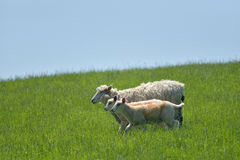 Ovejas y corderos en el campo, Abbotsbury Imagenes de archivo