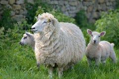 Ovejas y corderos en el campo, Abbotsbury Fotos de archivo libres de regalías
