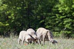 Ovejas y corderos en el prado Foto de archivo libre de regalías