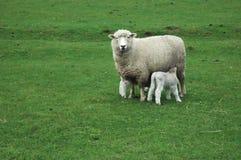Ovejas y corderos en la hierba fotos de archivo libres de regalías