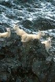 Ovejas y corderos en la nieve que cae, Alaska, parque nacional de Denali, TA Imagenes de archivo