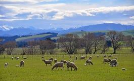 Ovejas y corderos en primavera Foto de archivo libre de regalías