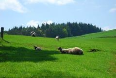 Ovejas y corderos en un campo fotografía de archivo libre de regalías